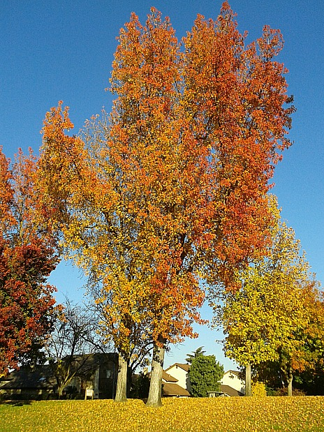 fall-color-liquidambar-Anne-of-Green-Gardens