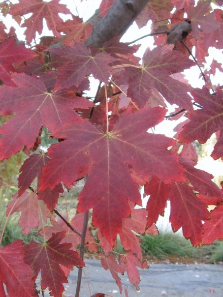 Liquidambar-leaves-Anne-of-Green-Gardens