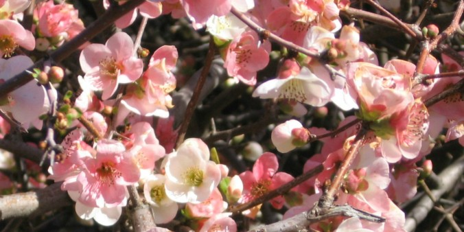 flowering-quince-Anne-of-Green-Gardens
