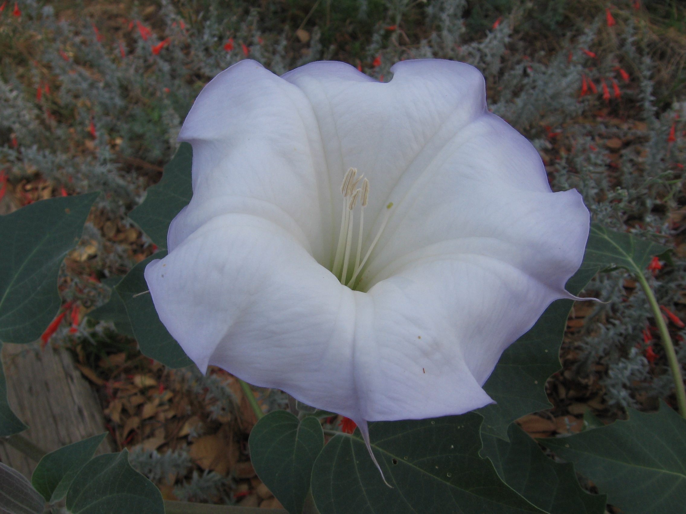 datura-Anne-of-Green-Gardens