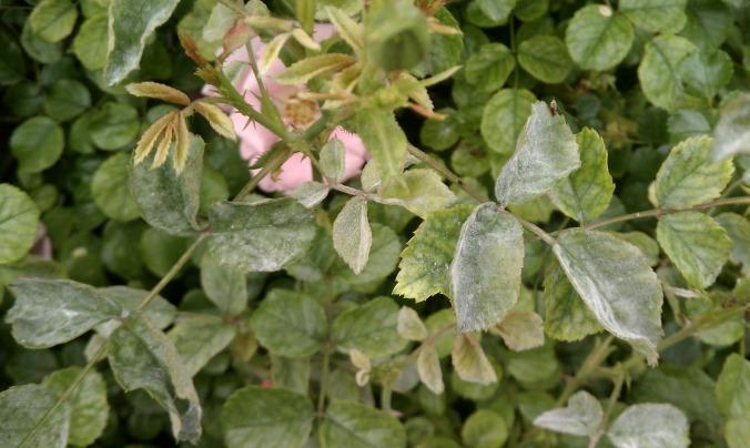 Powdery Mildew-rose-Anne-of-Green-Gardens