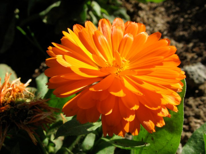 calendula-flower-fall-Anne-of-Green-Gardens