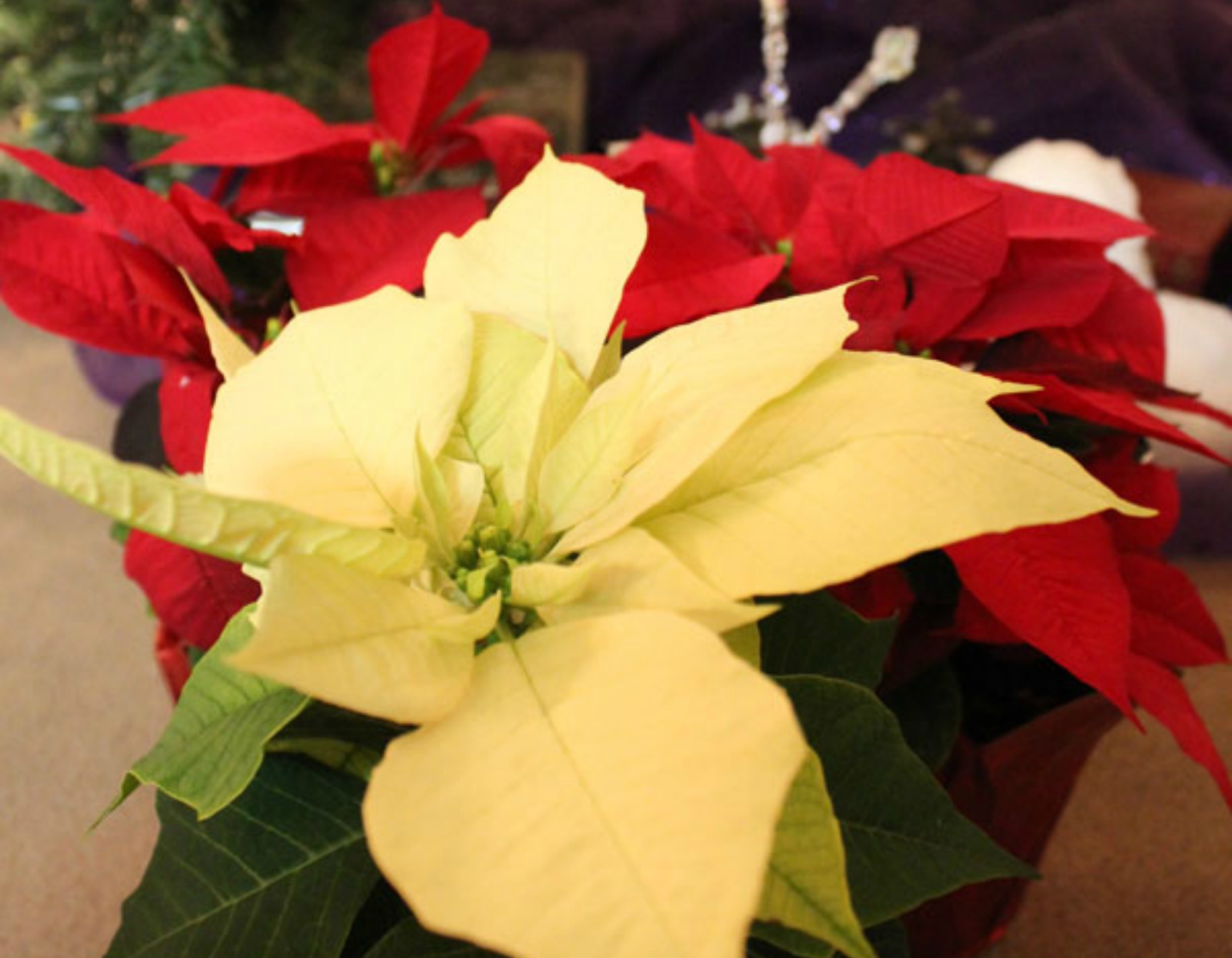 poinsettias non poisonous houseplants Anne of Green Gardens