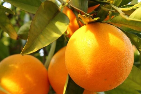 Oranges-e1416703949183