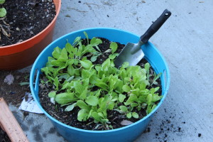 This tub was great for growing greens in spring, but will it work for cucumbers in summer?