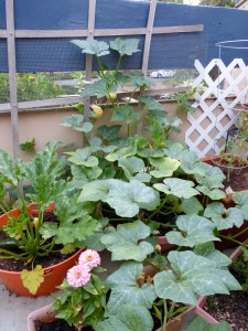 Container pumpkin takes over the patio
