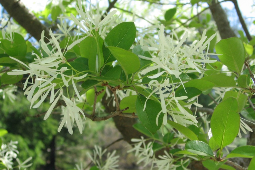chinese-fringe-tree-Anne-of-Green-Gardens