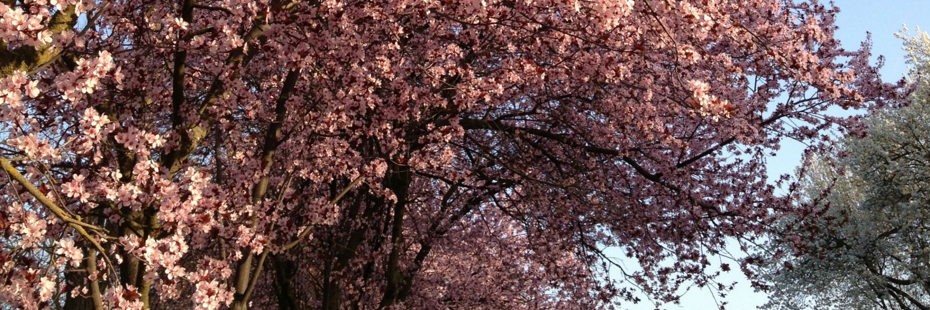 choosing a tree, flowering plum - Anne of Green Gardens