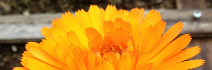 Annual Flowers banner, picture of calendula - Anne of Green Gardens