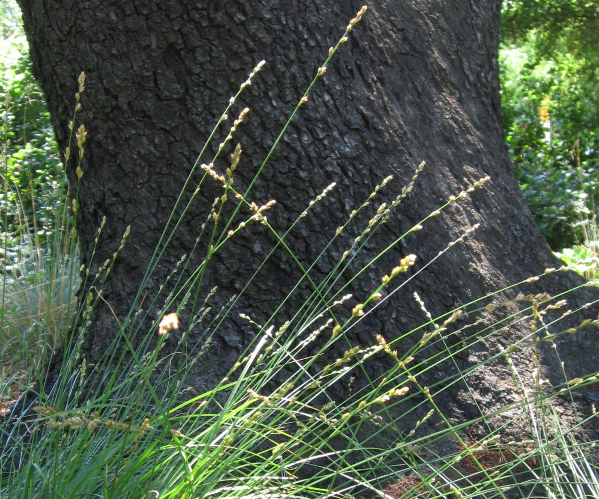 berkeley-sedge-Anne-of-Green-Gardens