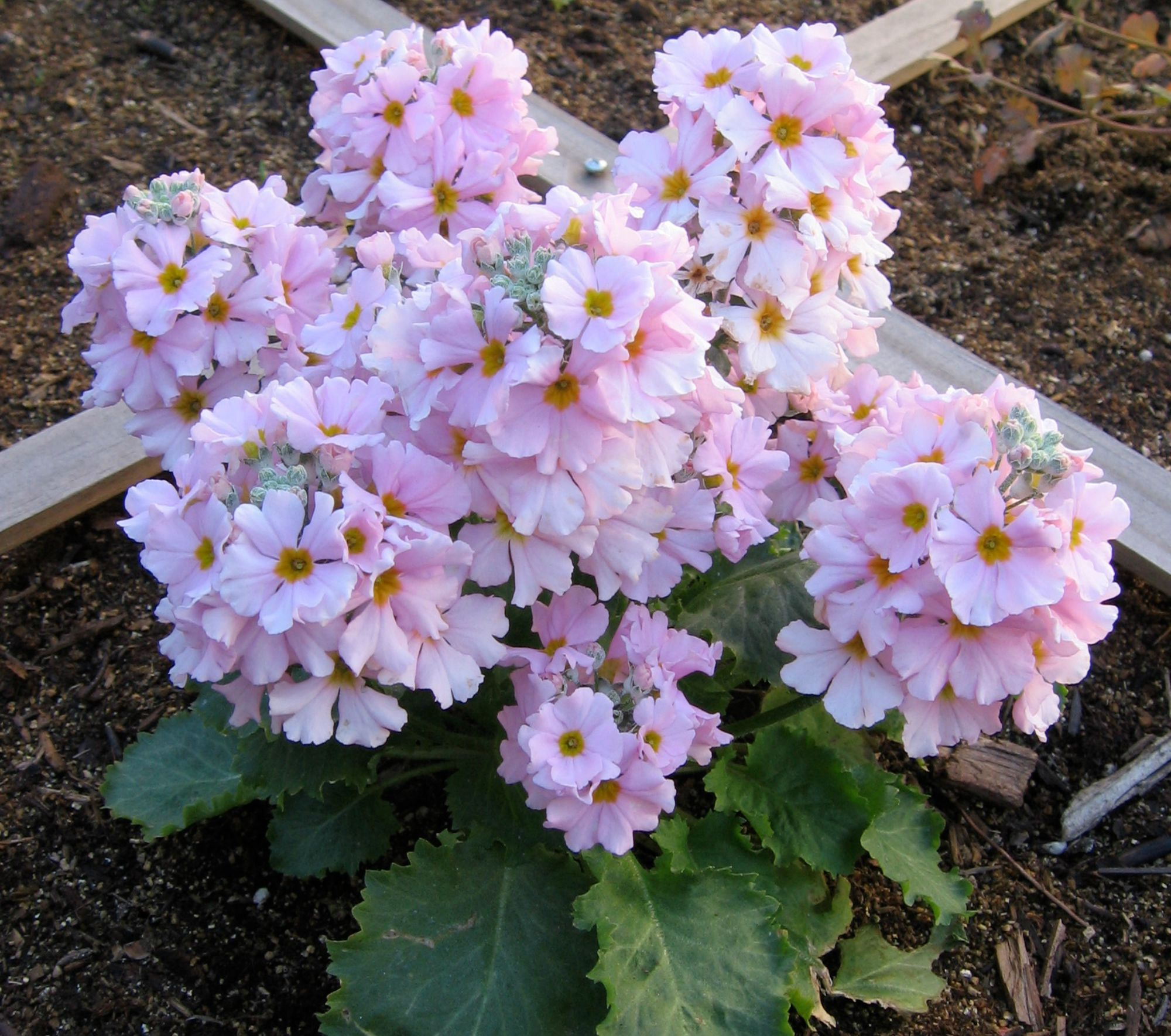 fairy-primrose-Anne-of-Green-Gardens