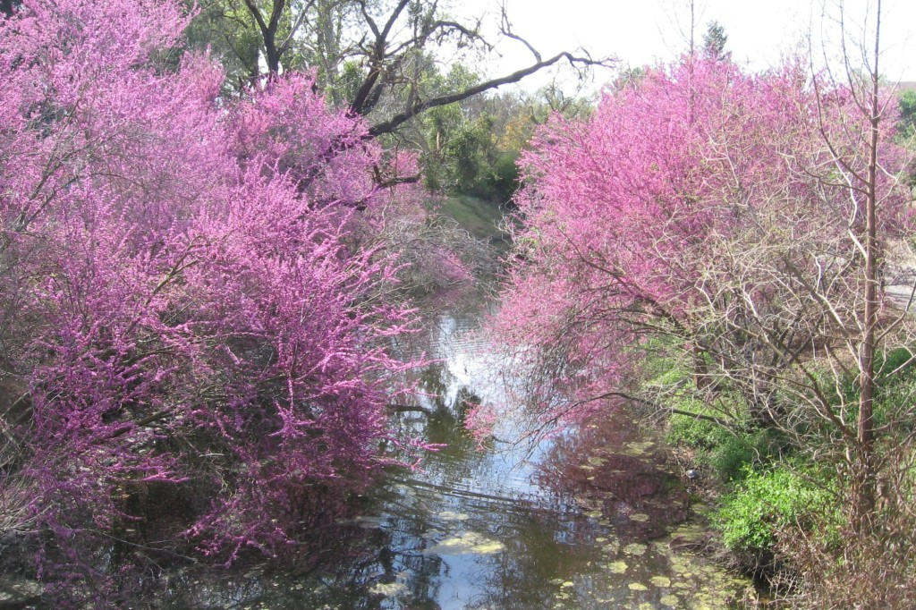 redbud-trees-Anne-of-Green-Gardens
