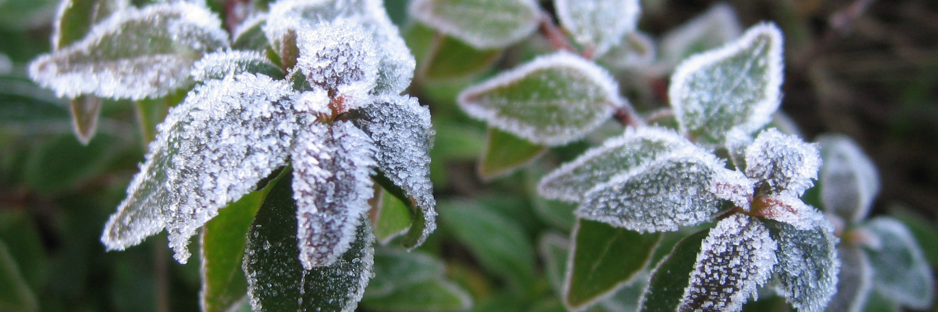 Frost Banner for abiotic plant problems, picture of plant with frost crystals on it for Anne of Green Gardens