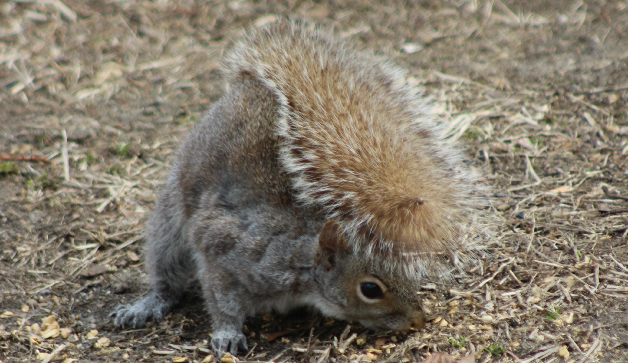 Banner for Animal pests, picture of squirrel