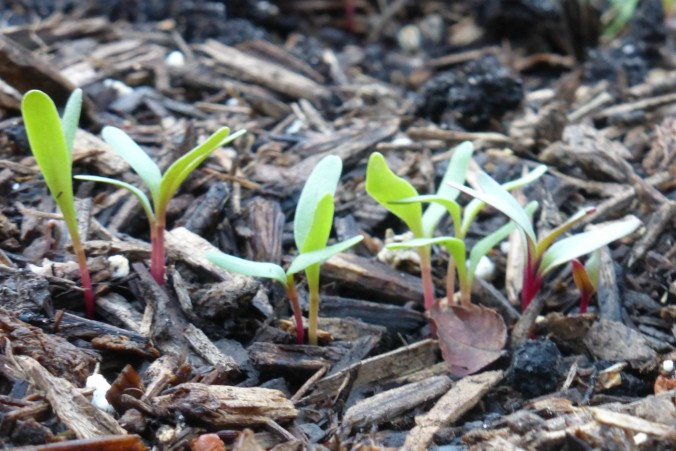 tiny beet seedlings