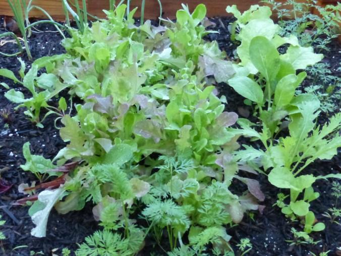 leaf-lettuce-Anne-of-Green-Gardens