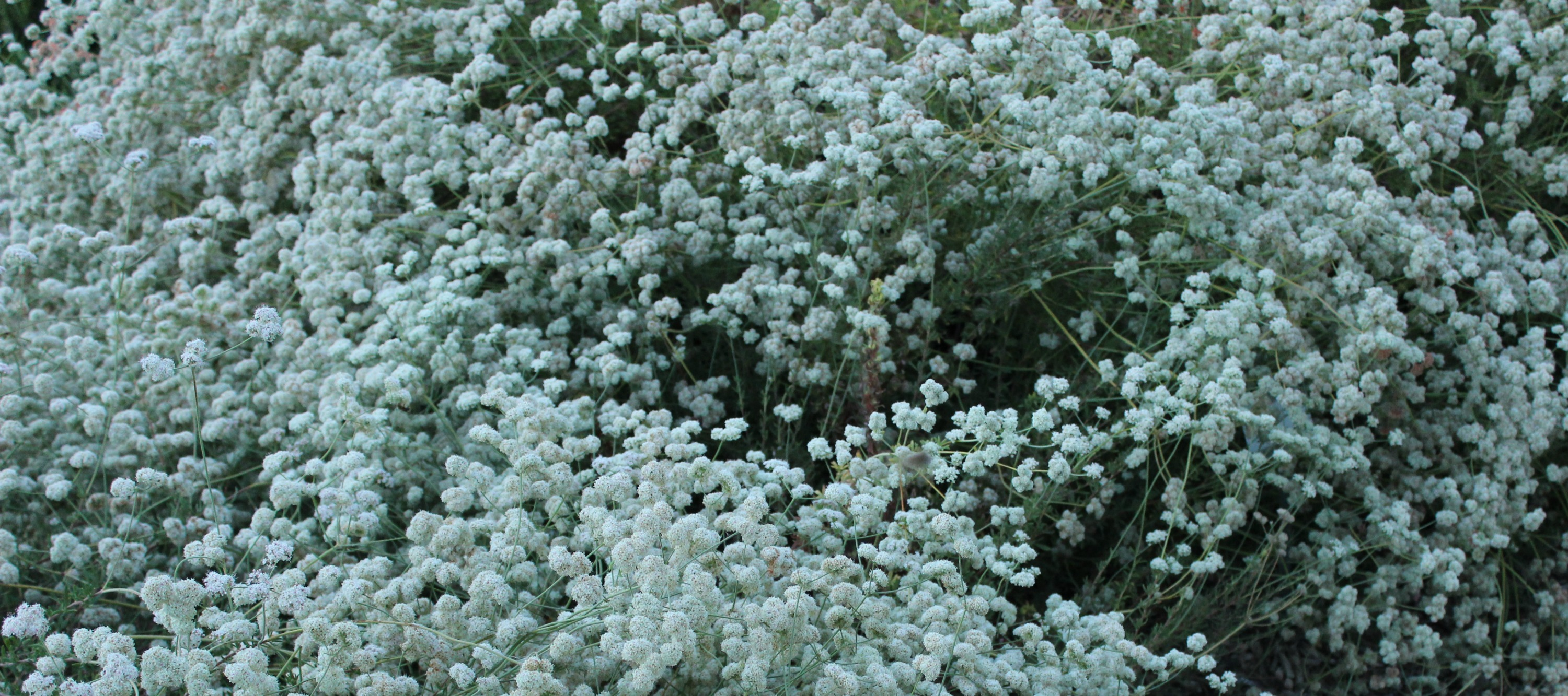 buckwheat E  fasciculatum Anne of Green Gardens