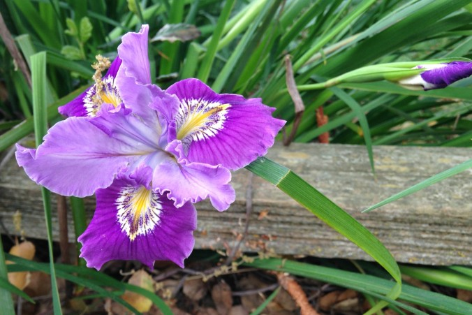 pacific-coast iris grissos fancy Anne-of-Green-Gardens