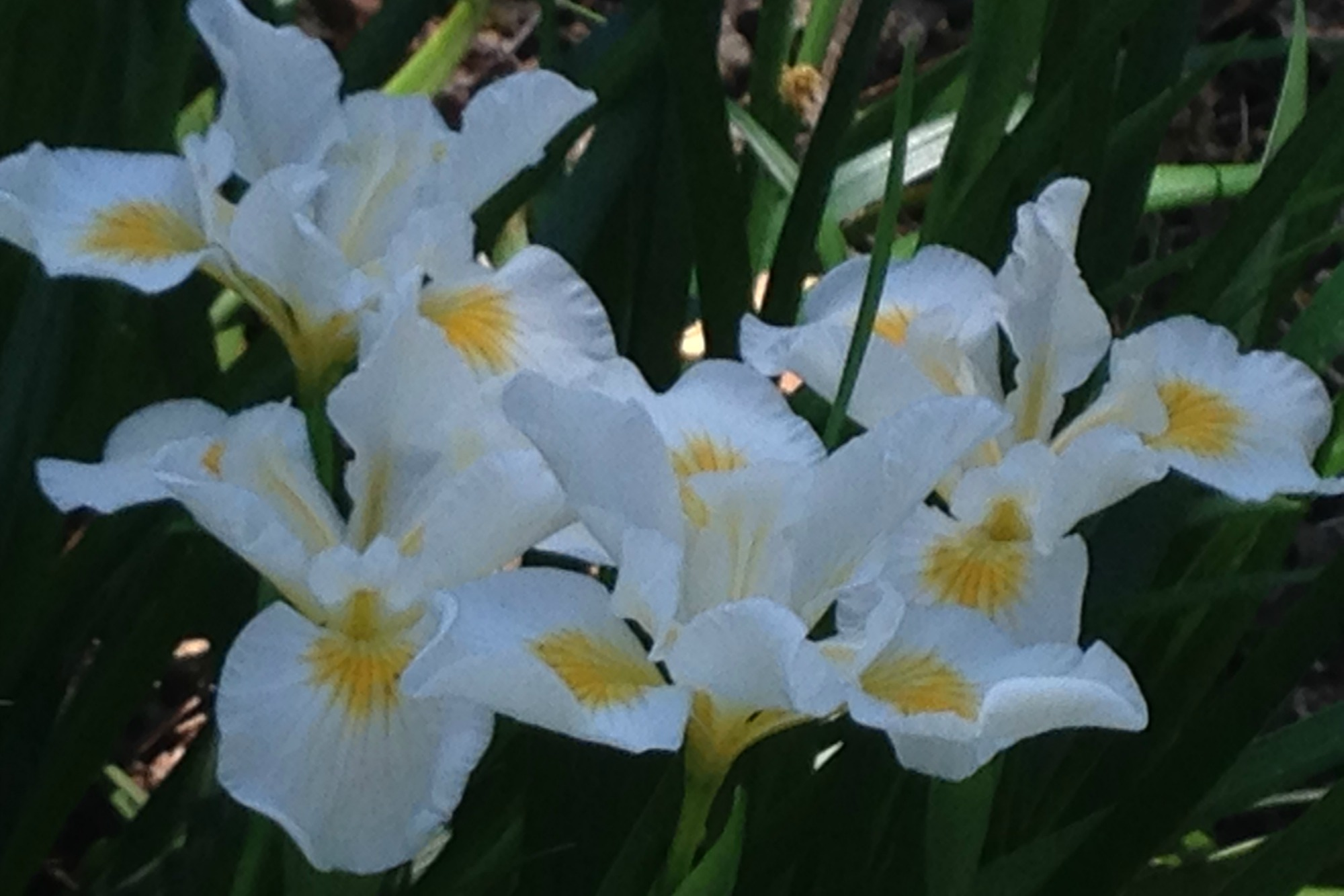 pacific coast iris white Anne-of-Green-Gardens