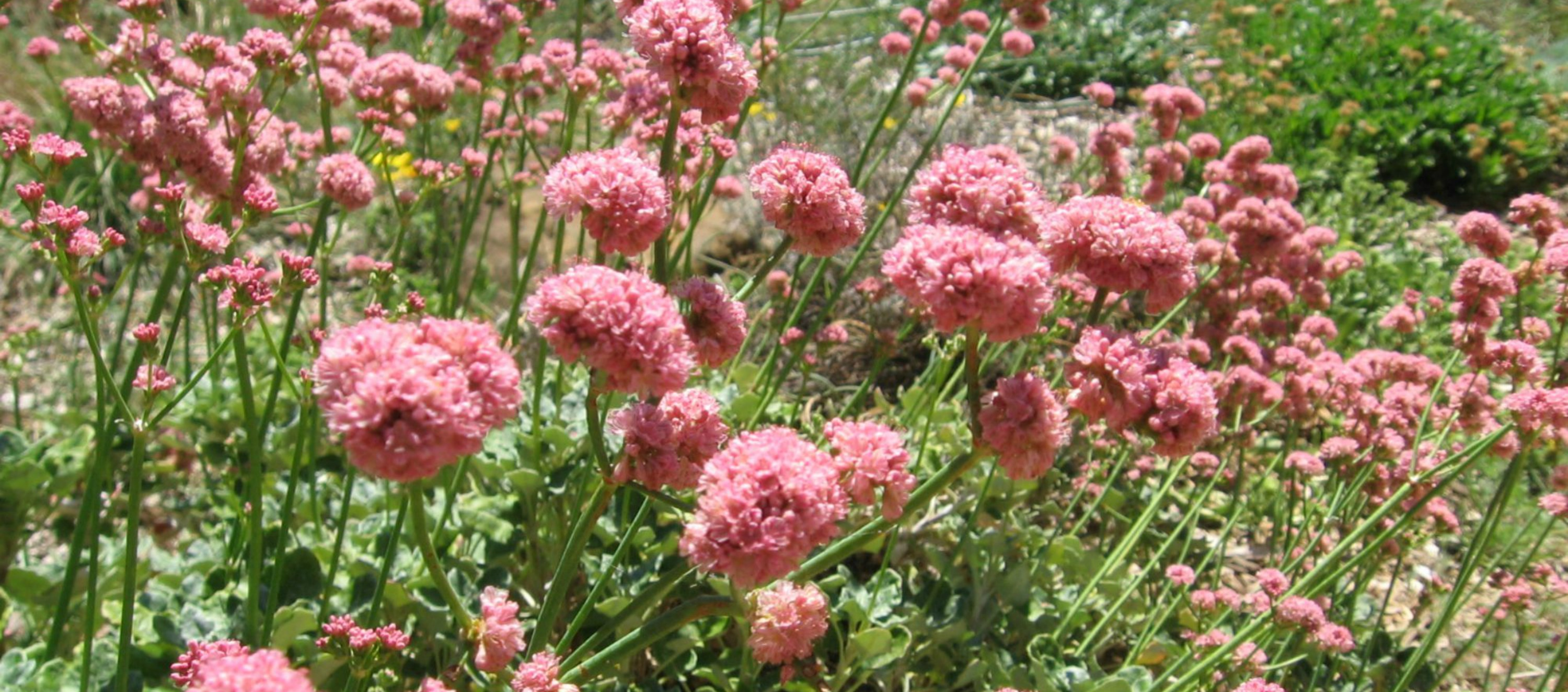 red buckwheat E rubescens Anne of Green Gardens