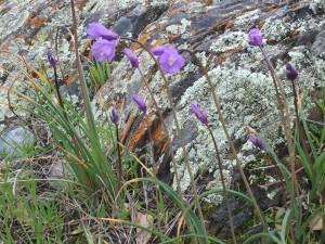 dichelostemma-wildflowersAnne-of-Green-Gardens