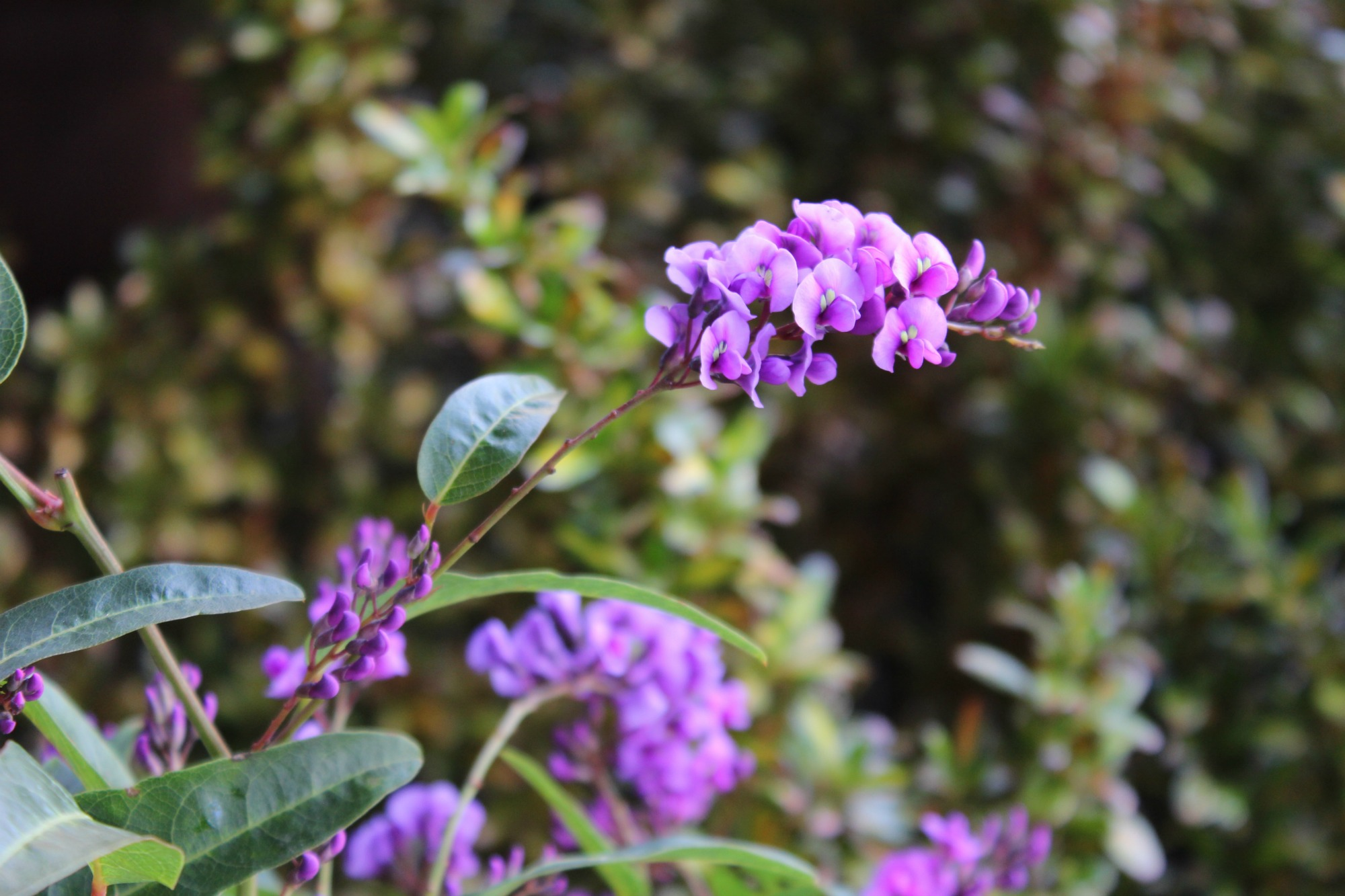 hardenbergia Anne of Green Gardens