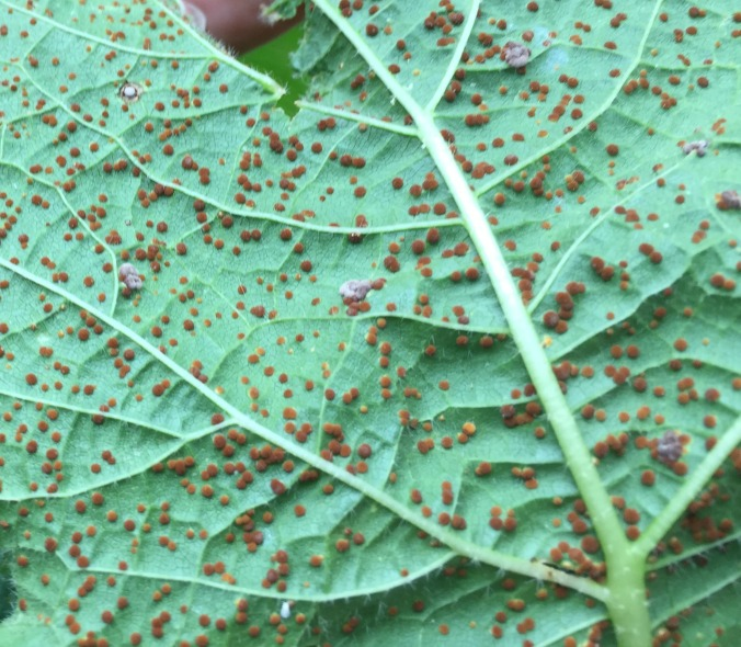 Hollyhock rust spores.