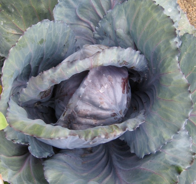 winter-vegetables-cabbage-anne-of-green-gardens