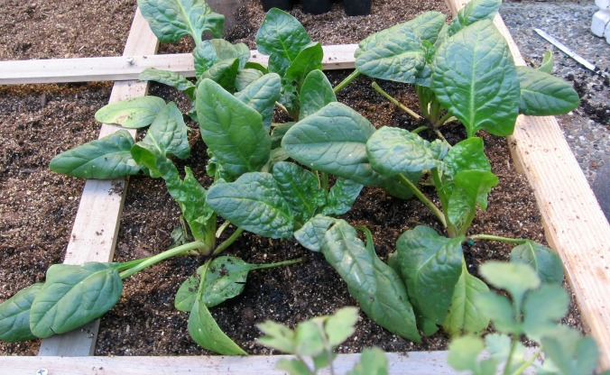 winter-vegetables-spinach-anne-of-green-gardens
