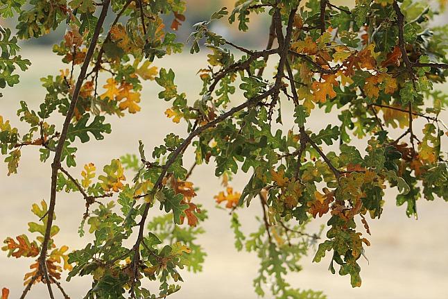 drought-stressed-oak-Anne-of-Green-Gardens