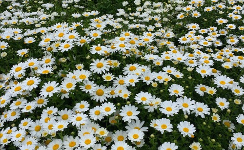 Chyrsanthemum daisy.