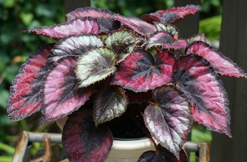 Red kiss rex begonia houseplant.